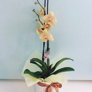 Large Orchid Plant in a ceramic pot, colours will vary - A Touch of Class Florist Perth