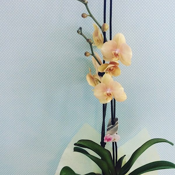 Large Orchid Plant in a ceramic pot, colour may vary - A Touch of Class Florist Perth