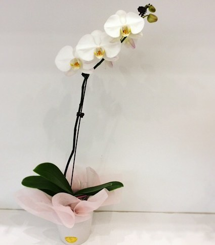 Large Potted Orchid Plant - A Touch of Class Florist