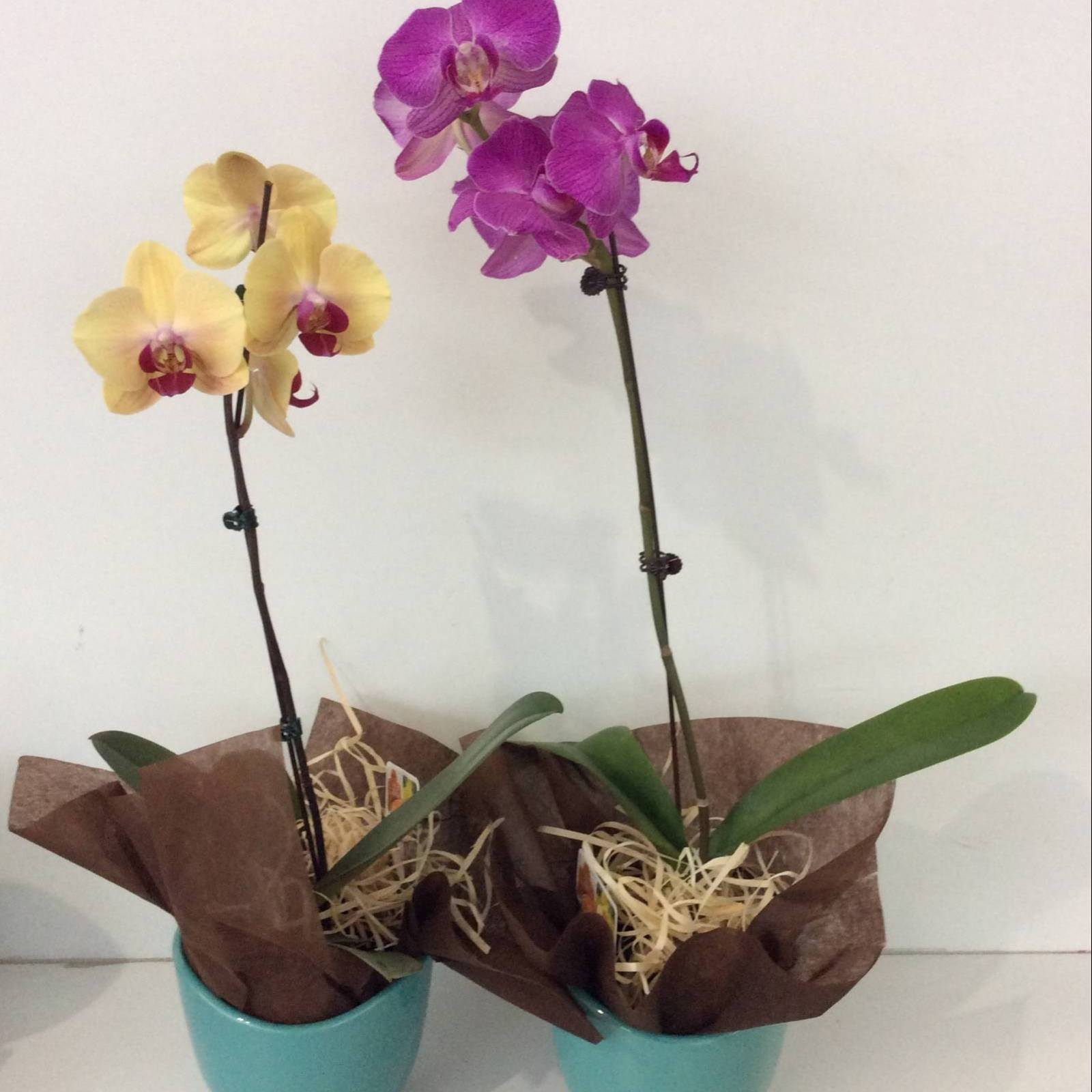 small phalaenopsis orchid plant in a ceramic pot.