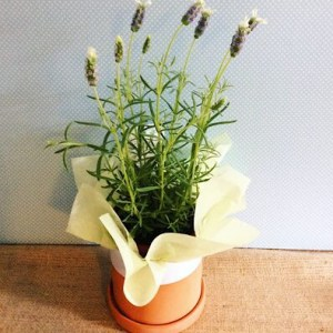 Potted Lavender Plant - A Touch of Class Florist