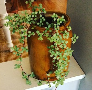 Potted Plant Gifts and Care, image of trailing plant in vintage pot - A Touch of Class Florist Perth