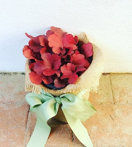 Heuchera Potted Plant is lovely foliage plant giftwrapped in hessian - A Touch of Class Florist Perth
