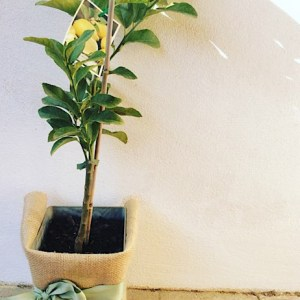 Lemon Tree gift wrapped in hessian, approx pot size 4lt