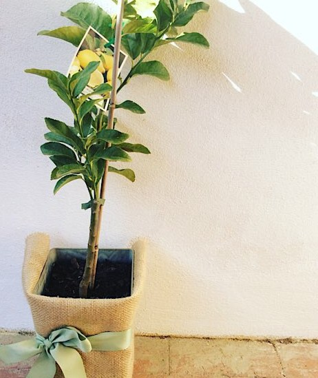 Lemon Tree gift wrapped in hessian, approx pot size 4lt