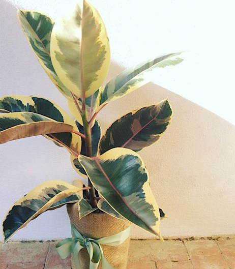 Ficus Tineke - Rubber Plant gift wrapped in Hessian- A Touch of Class Florist Perth
