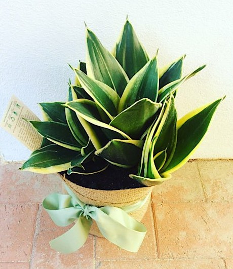 Sansevieria Potted Plant gift wrapped with Hessian.