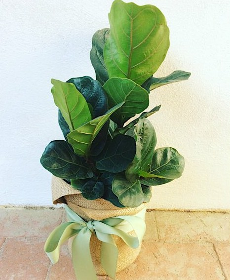 Fiddle Leaf Fig Potted Plant - Hessian Wrapped - A Touch of Class Florist Perth