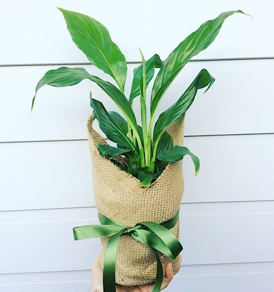 Hessian Wrapped Peace Lily Plant - A Touch of Class Florist Perth
