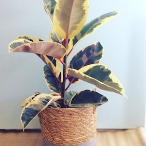 Potted Rubber Tree - Ficus in a Basket ready for your home - A Touch of Class florist Perth