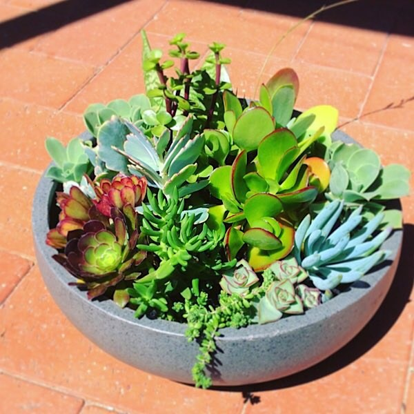 Big and Beautiful Succulent Garden planted in a lightweight but stylish pot so that it is not too heavy to move. Pot by itself is approximately 30 cm in diameter and 10 cm in height. - A Touch of Class Florist Perth